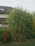 Bambus - Miskant olbrzymi. (Miscanthus gigantheus)  W  naszym klimacie ro¶nie do 4 m wysoko¶ci. Odporny na mrozy. Cena za 1 sadzonkê- k³±cze.